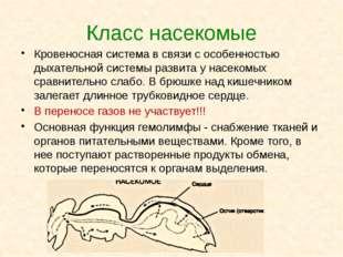 Класс насекомые Кровеносная система в связи с особенностью дыхательной систем