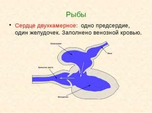 Рыбы Сердце двухкамерное: одно предсердие, один желудочек. Заполнено венозной