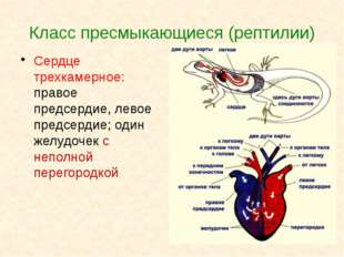 Класс пресмыкающиеся (рептилии) Сердце трехкамерное: правое предсердие, левое