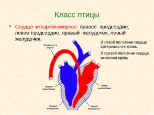 Класс птицы Сердце четырехкамерное: правое предсердие, левое предсердие; прав