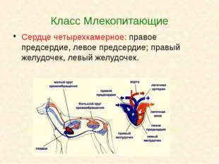 Класс Млекопитающие Сердце четырехкамерное: правое предсердие, левое предсерд