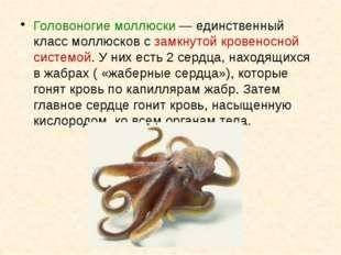 Головоногие моллюски— единственный класс моллюсков с замкнутой кровеносной с