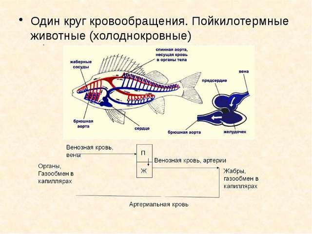 Один круг кровообращения. Пойкилотермные животные (холоднокровные)