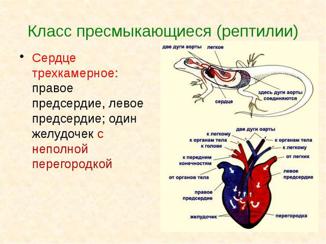 Класс пресмыкающиеся (рептилии) Сердце трехкамерное: правое предсердие, левое...