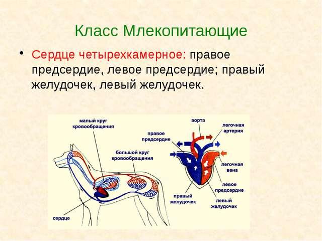Класс Млекопитающие Сердце четырехкамерное: правое предсердие, левое предсерд...