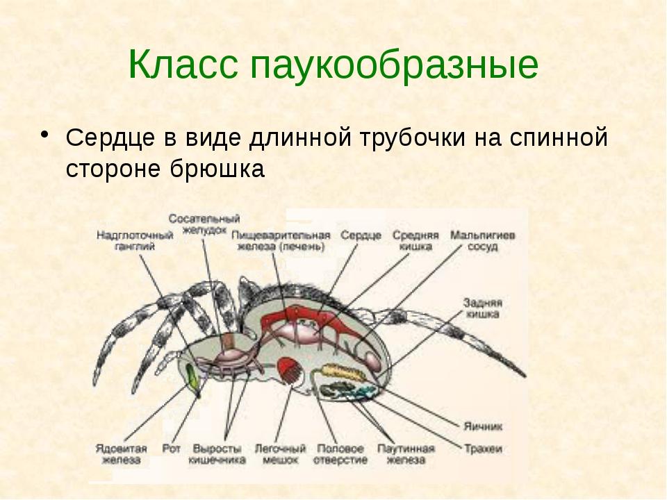 Класс паукообразные Сердце в виде длинной трубочки на спинной стороне брюшка