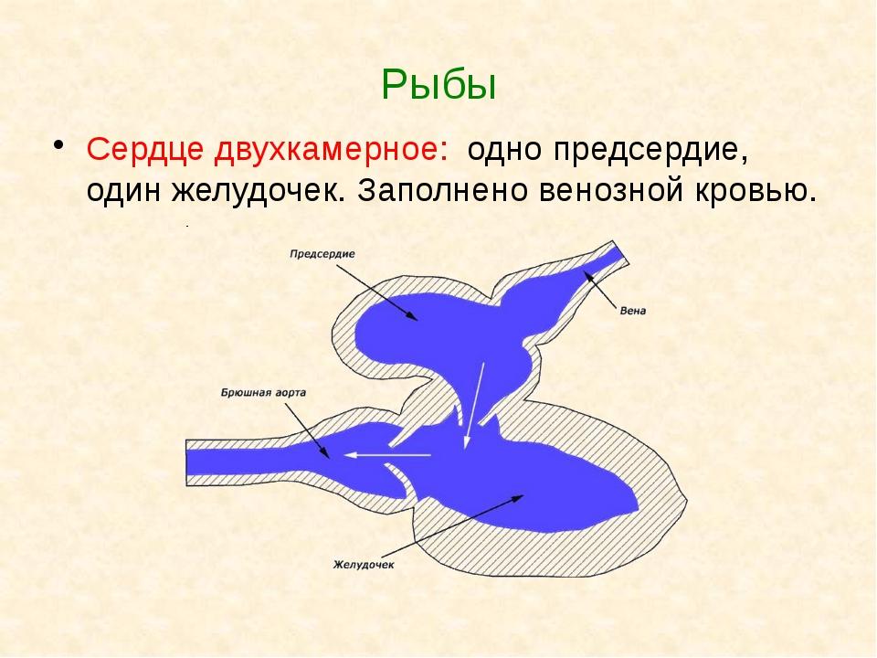 Рыбы Сердце двухкамерное: одно предсердие, один желудочек. Заполнено венозной...
