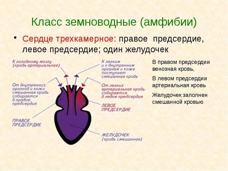 Класс земноводные (амфибии) Сердце трехкамерное: правое предсердие, левое пре...
