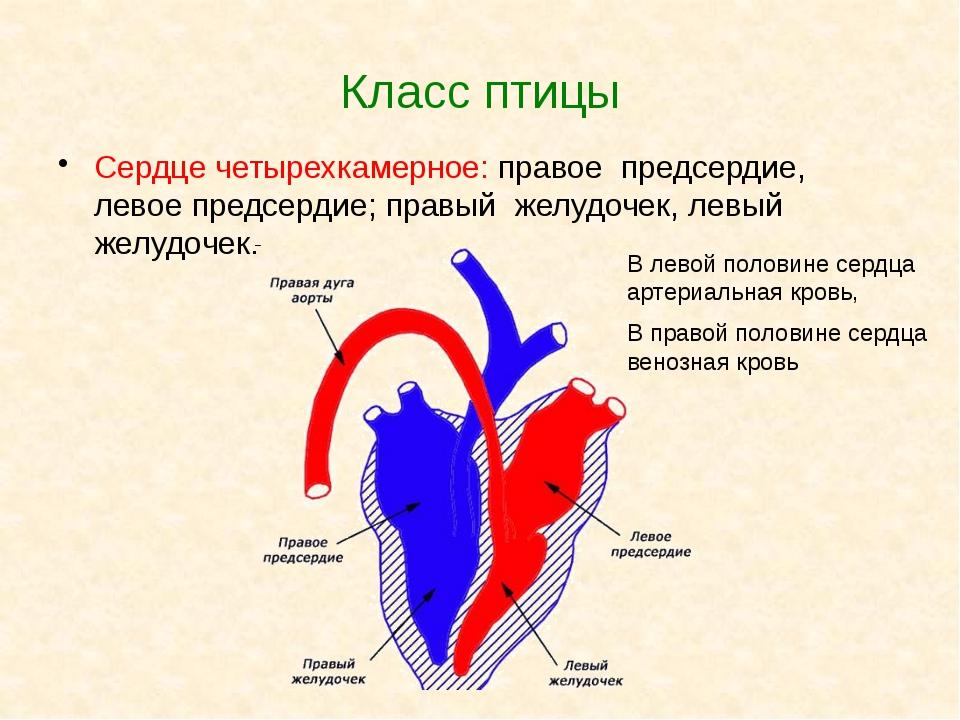 Класс птицы Сердце четырехкамерное: правое предсердие, левое предсердие; прав...