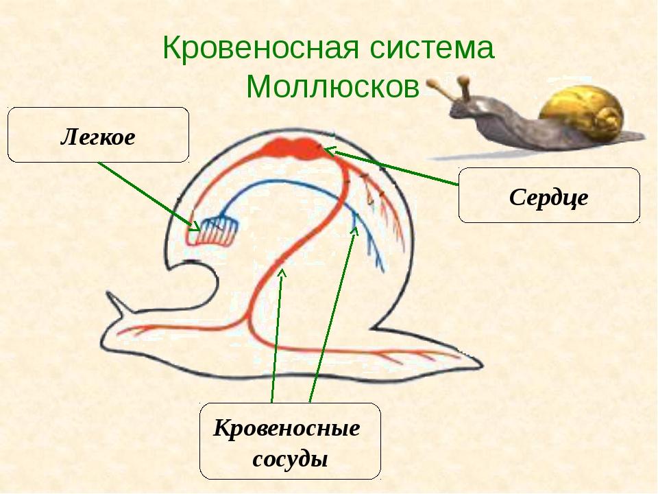 Кровеносная система Моллюсков Сердце Кровеносные сосуды Легкое