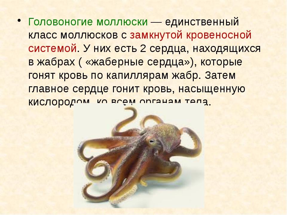 Головоногие моллюски— единственный класс моллюсков с замкнутой кровеносной с...
