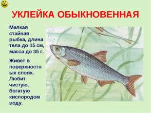 УКЛЕЙКА ОБЫКНОВЕННАЯ Мелкая стайная рыбка, длина тела до 15 см, масса до 35 г