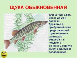 ЩУКА ОБЫКНОВЕННАЯ Длина тела 1,5 м., масса до 20 и более кг. Держится в прибр