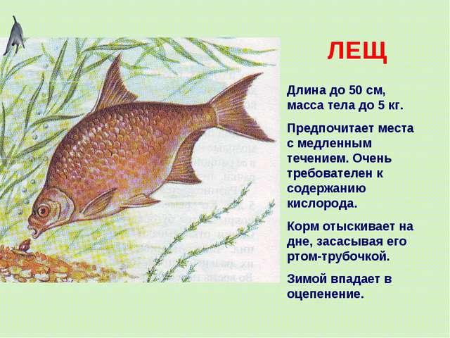 ЛЕЩ Длина до 50 см, масса тела до 5 кг. Предпочитает места с медленным течени...