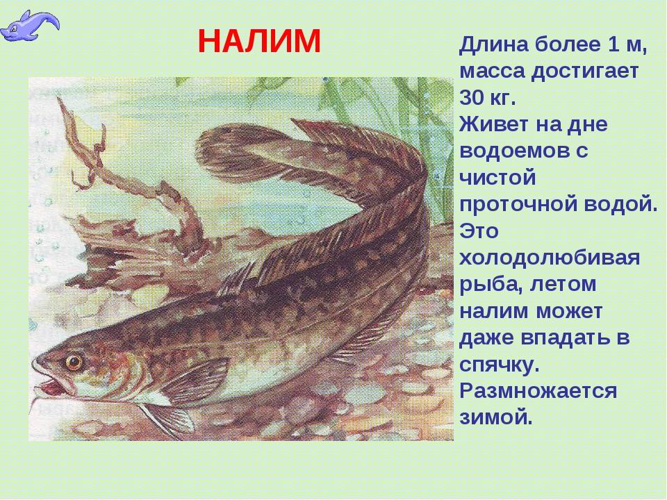 НАЛИМ Длина более 1 м, масса достигает 30 кг. Живет на дне водоемов с чистой...