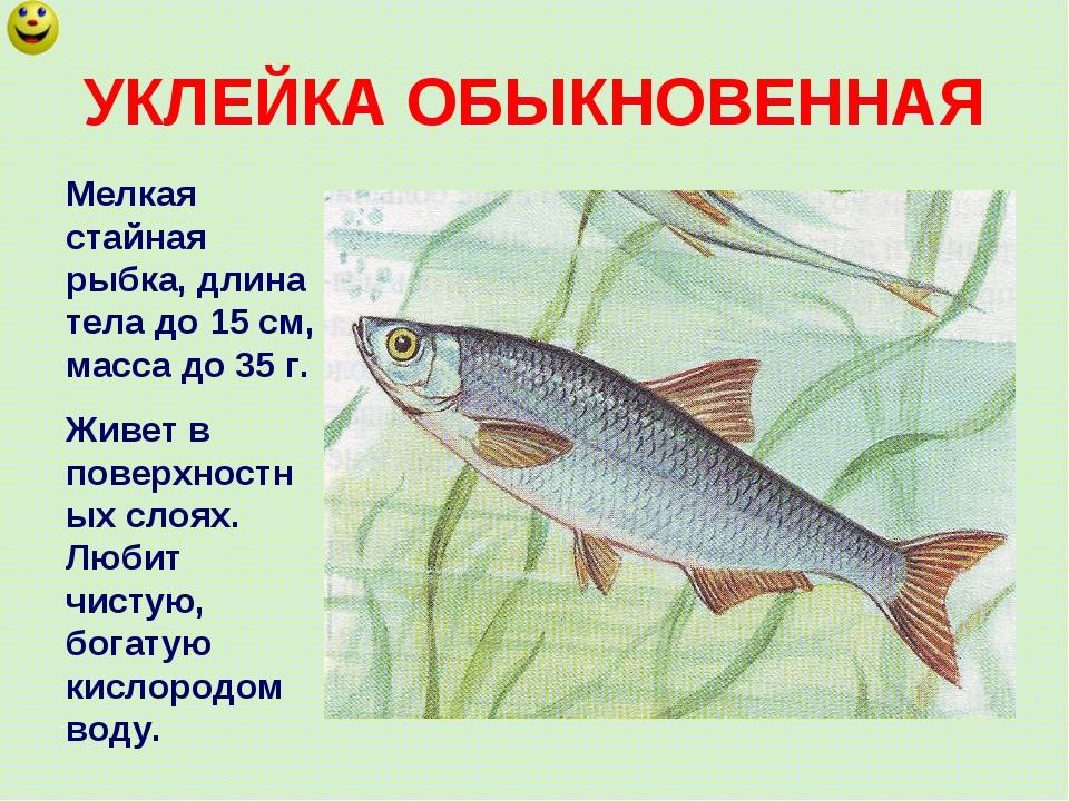 УКЛЕЙКА ОБЫКНОВЕННАЯ Мелкая стайная рыбка, длина тела до 15 см, масса до 35 г...