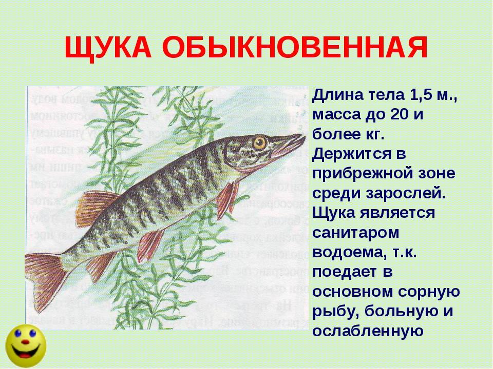 ЩУКА ОБЫКНОВЕННАЯ Длина тела 1,5 м., масса до 20 и более кг. Держится в прибр...