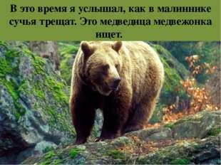 В это время я услышал, как в малиннике сучья трещат. Это медведица медвежонка