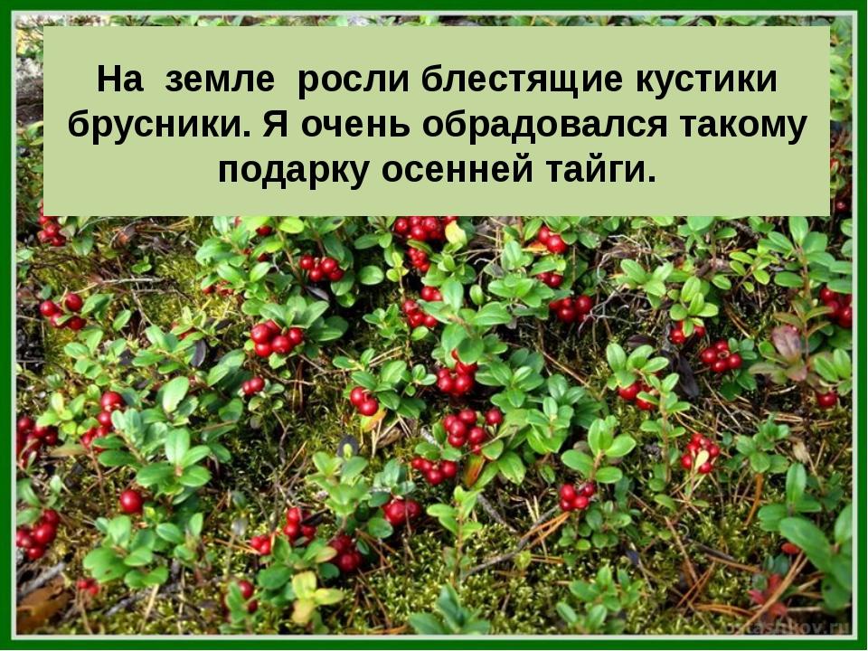На земле росли блестящие кустики брусники. Я очень обрадовался такому подарку...