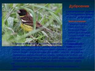 Дубровник К сравнительно редким на гнездовании можно отнести дубровника. Крат