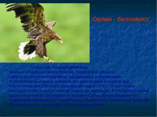 Орлан - белохвост Оседлый, очень редкий вид. Занесен в Красные книги России,