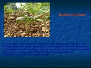 Дыбка степная Степная дыбка, один из самых крупных наших кузнечиков, длиной