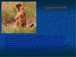 Сурок степной Редкий вид, распространенный на ограниченной территории (Бессон