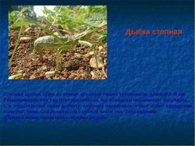Дыбка степная Степная дыбка, один из самых крупных наших кузнечиков, длиной...