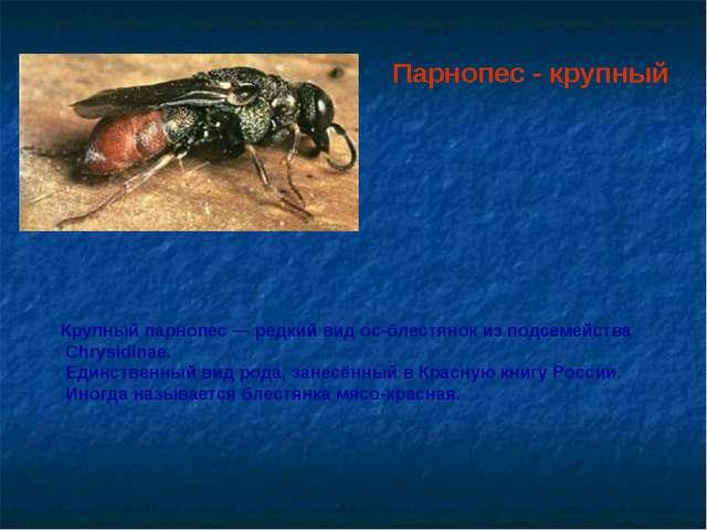 Крупный парнопес — редкий вид ос-блестянок из подсемейства Chrysidinae. Единс...