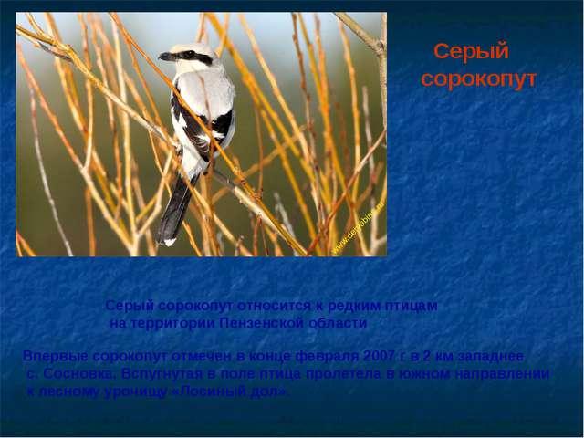 Серый сорокопут Серый сорокопут относится к редким птицам на территории Пенз...