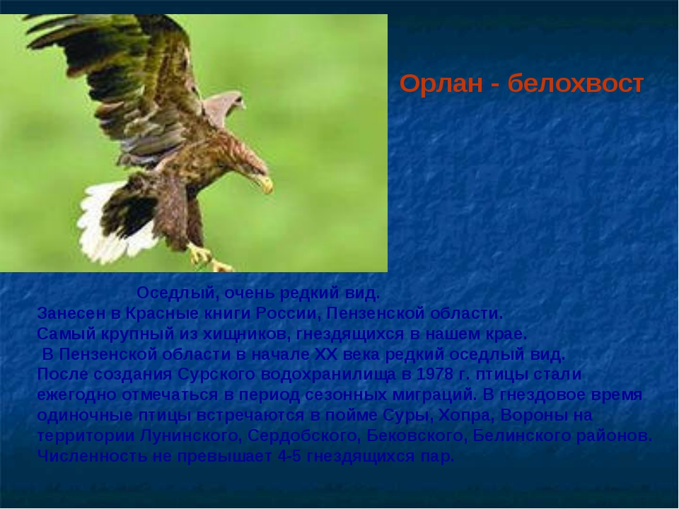 Орлан - белохвост Оседлый, очень редкий вид. Занесен в Красные книги России,...