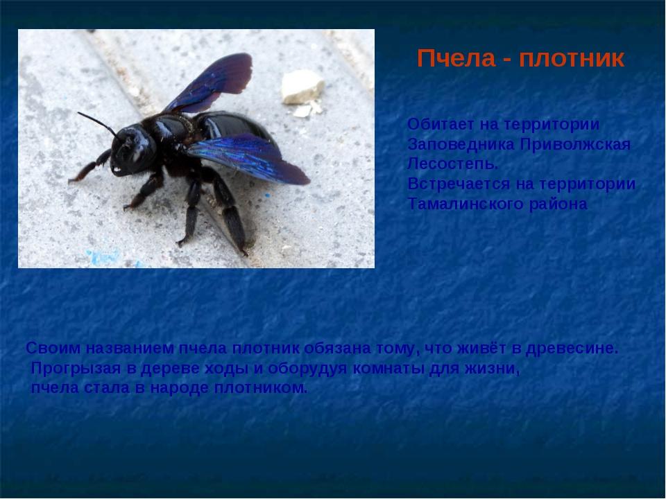 Пчела - плотник Своим названием пчела плотник обязана тому, что живёт в древе...