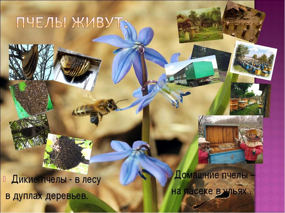 Дикие пчелы - в лесу в дуплах деревьев. Домашние пчелы – на пасеке в ульях .
