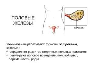 ПОЛОВЫЕ ЖЕЛЕЗЫ Яичники – вырабатывают гормоны эстрогены, которые : определяют
