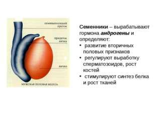 Семенники – вырабатывают гормона андрогены и определяют: развитие вторичных п