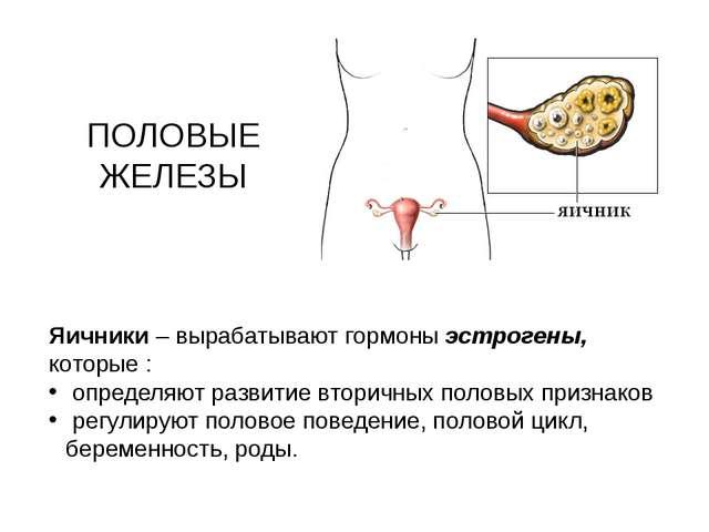ПОЛОВЫЕ ЖЕЛЕЗЫ Яичники – вырабатывают гормоны эстрогены, которые : определяют...