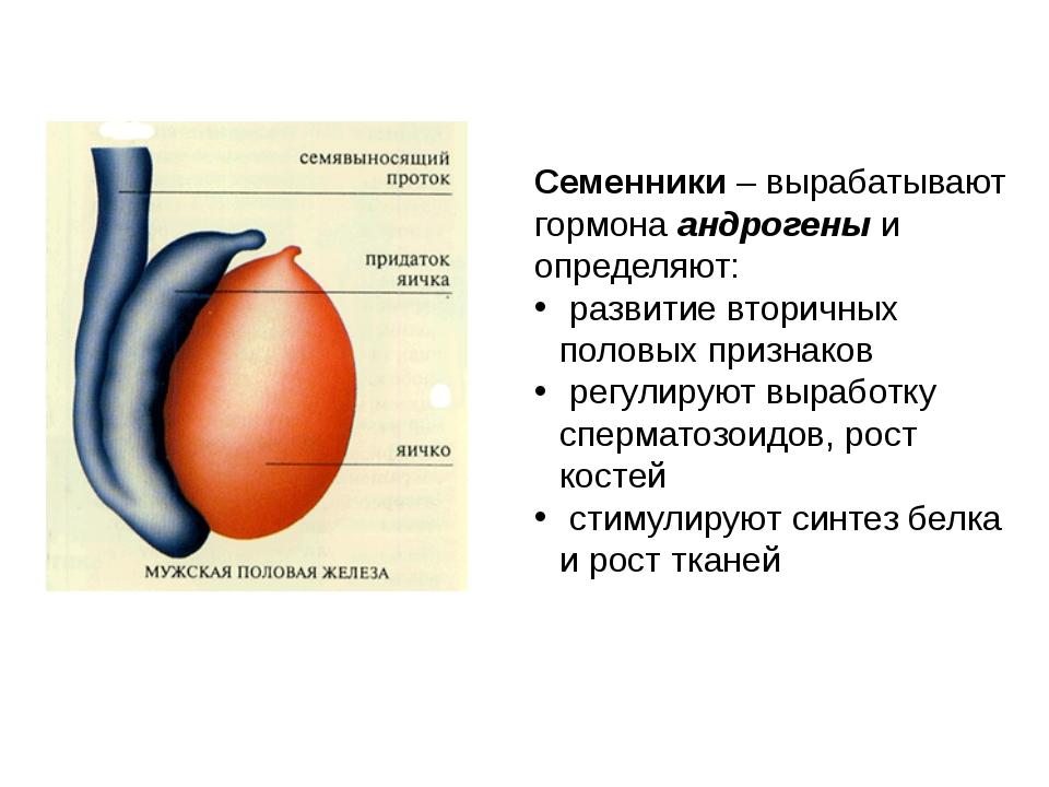 Семенники – вырабатывают гормона андрогены и определяют: развитие вторичных п...