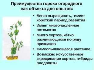 Преимущества гороха огородного как объекта для опытов: Легко выращивать, имее