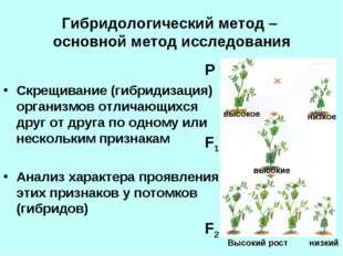 Гибридологический метод – основной метод исследования Скрещивание (гибридизац