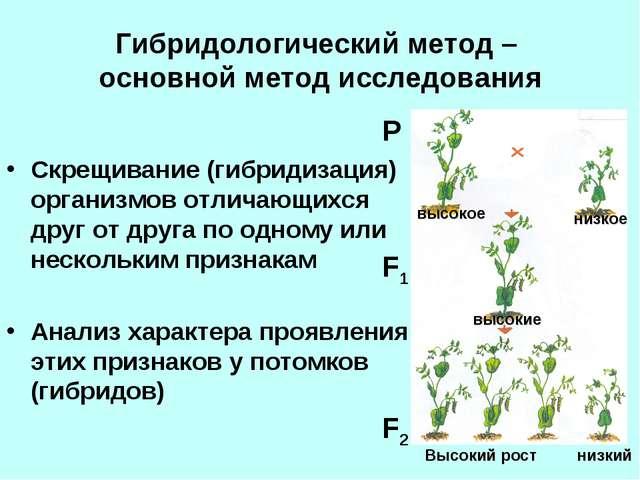 Гибридологический метод – основной метод исследования Скрещивание (гибридизац...