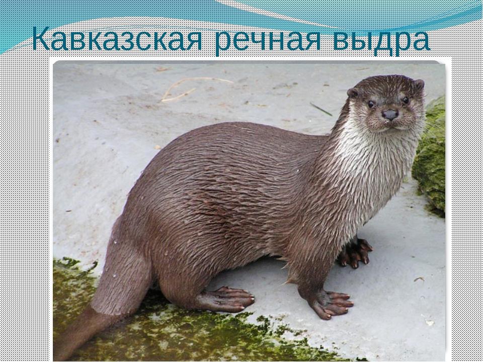 Кавказская речная выдра