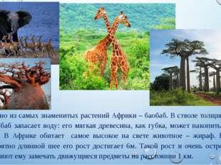 Одно из самых знаменитых растений Африки – баобаб. В стволе толщиной до 10 м