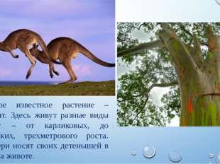 Самое известное растение – эвкалипт. Здесь живут разные виды кенгуру – от кар