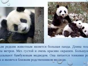 Самым редким животным является большая панда. Длина тела около полутора метро