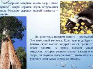 Из животных назовем одного – полосатый скунс. Это известный вонючка. Если вра