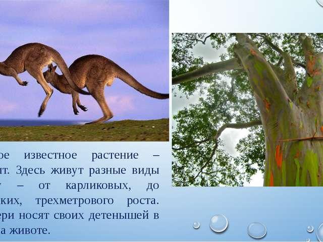 Самое известное растение – эвкалипт. Здесь живут разные виды кенгуру – от кар...