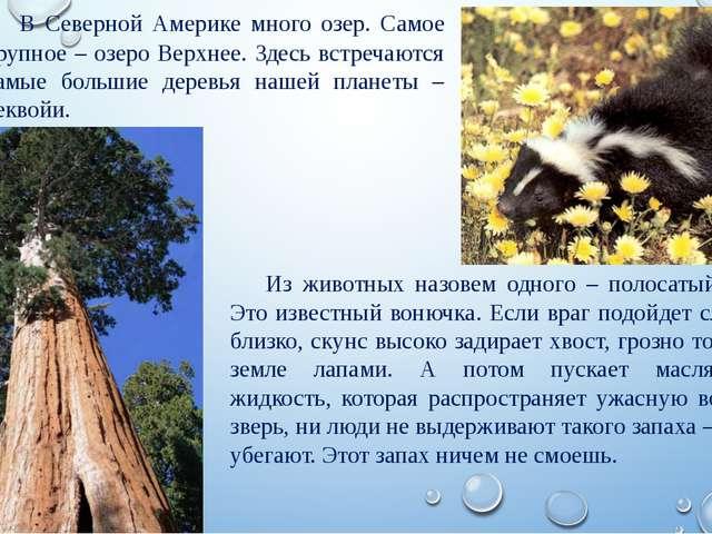 Из животных назовем одного – полосатый скунс. Это известный вонючка. Если вра...