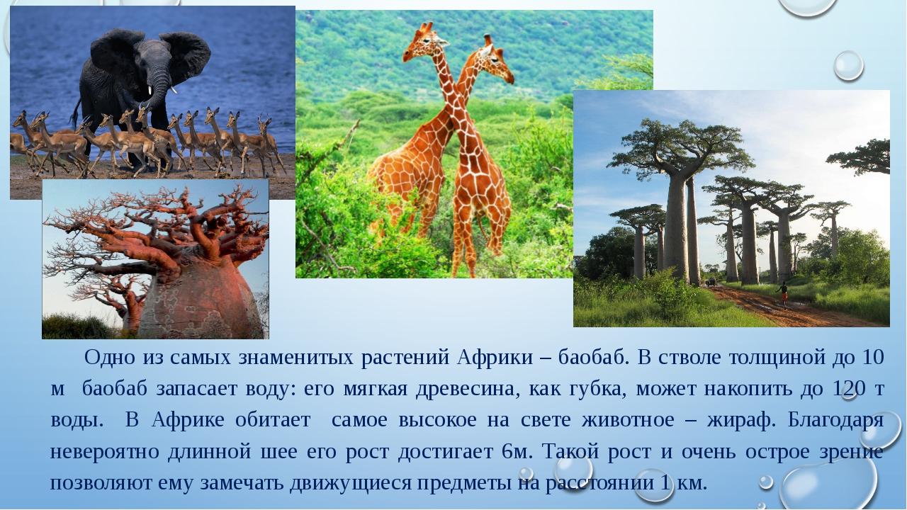 Одно из самых знаменитых растений Африки – баобаб. В стволе толщиной до 10 м...