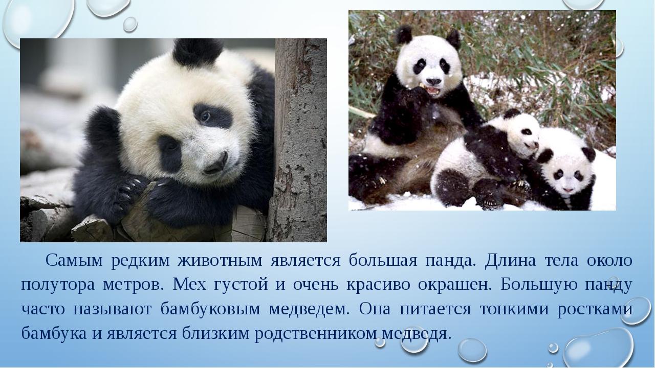 Самым редким животным является большая панда. Длина тела около полутора метро...