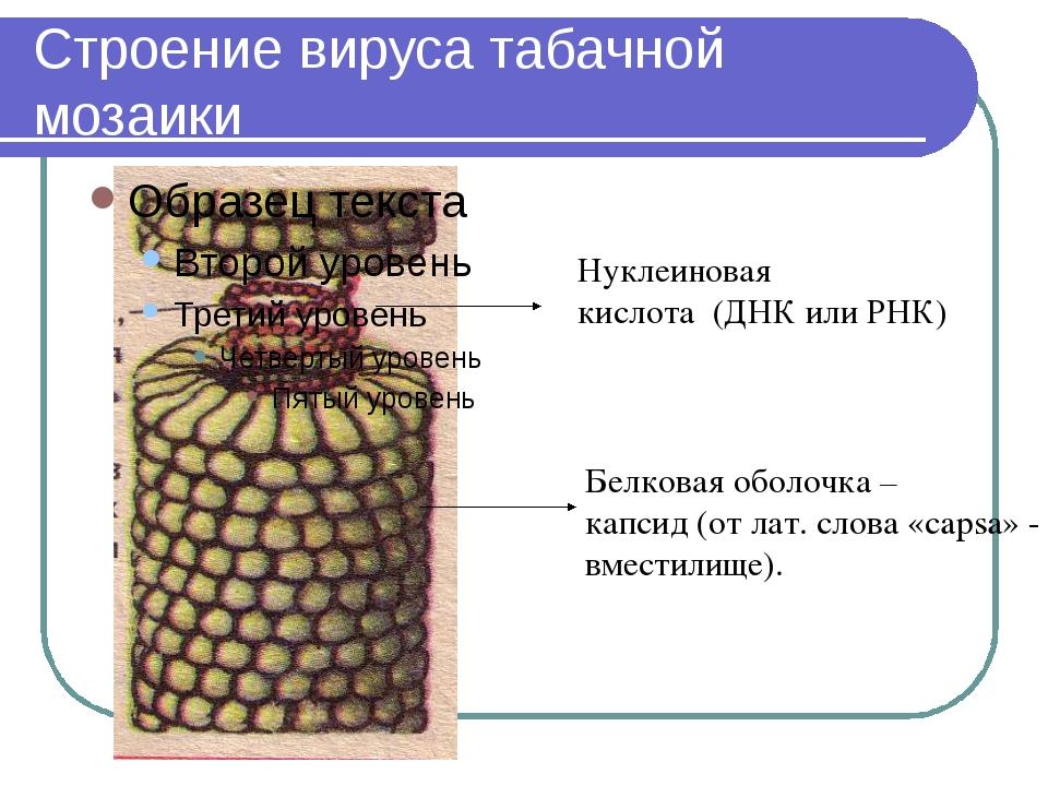 Строение вируса табачной мозаики Нуклеиновая кислота (ДНК или РНК) Белковая о...